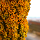 Yellow Scale Lichen?
