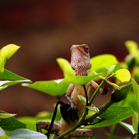 Garden Lizard.. by Nithya Purushothaman - Animals Reptiles