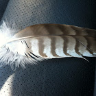 Red tailed hawk (feather)