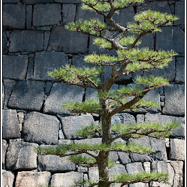 Stone Tree by Jebark Fineartphotography - Nature Up Close Trees & Bushes ( japan, park, nature, tree, tokyo, palace, stones, wall )