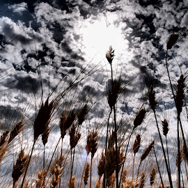 Wheat Sky by Theodoros Theodorou - Nature Up Close Gardens & Produce ( cloud formations, wheat field, sky, nature, cyprus )