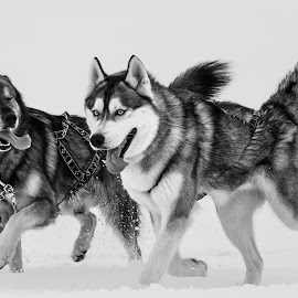 Siberian Ice-Husky at work  by Gunnlaugur Örn Valsson - Animals - Dogs Running ( siberian dogs running tired working winter 2014 myvatn iceland,  )