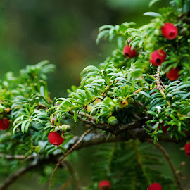 Yew Tree Berries by Nikki Wilson - Nature Up Close Trees & Bushes ( nature, tree, yew tree, evergreen, berries )