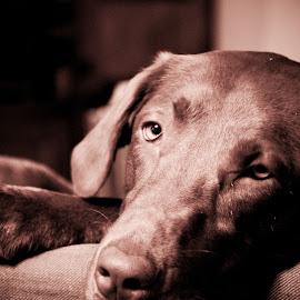 Daphne 11 mos 1 by David Leer - Animals - Dogs Portraits ( oregon, daphne, benton, 2014, valley, cute, lab, close up, portrait, chocolate, county, female, pet, fall, willamette, dog, animal )