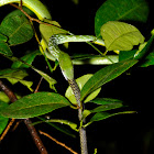 Green Vine Snake feeding on Large Scaled Shieldtail