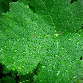 Welcome Refresh for Nature by Marco Bertamé - Nature Up Close Leaves & Grasses ( wine, rein, green, leaf, droplets )