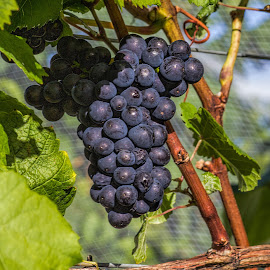 ready to be picked by Vibeke Friis - Nature Up Close Gardens & Produce ( blue, grapes,  )