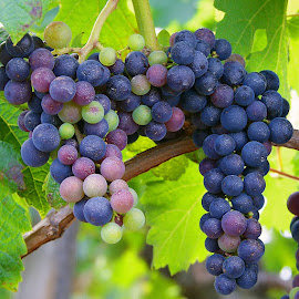 Grapes by Ad Spruijt - Nature Up Close Gardens & Produce ( grapes, grape, blue grapes, blue grape,  )
