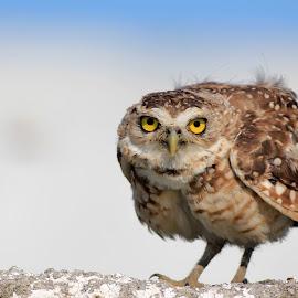 Looking at me! by Itamar Campos - Animals Birds ( owl )