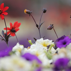 colourful tribute by Geoff Soper - Flowers Flower Gardens ( colour, color, flower bed, dahlia, flower )