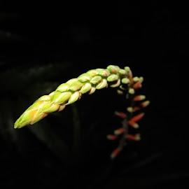 The Rising bud by Rohit Singh - Novices Only Flowers & Plants ( flashlight, vibrance, capture, flower bud, night shot )