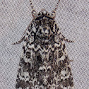 Night-wandering Dagger Moth