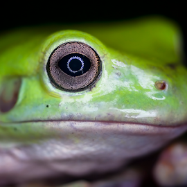 frog eyes by Robert Cinega - Animals Amphibians