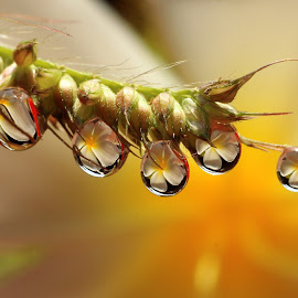 Flower in the Dew by Chandra Kushartanto - Nature Up Close Natural Waterdrops