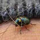Casebearer Beetle