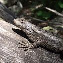 Texas Spiny Lizard (Female)