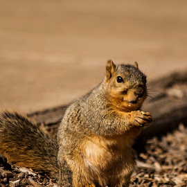 Squirrel eating by Nicole Nichols - Novices Only Wildlife ( wildlife, squirrel,  )