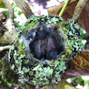 Anna's Hummingbird Hatchlings