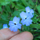 Jamaican Forget-Me-Not, Amethyst flower, or Bush Violet