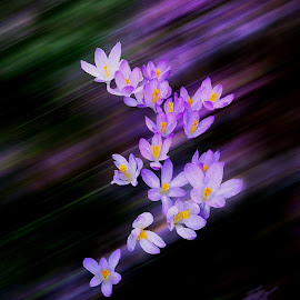 Crocus In Motion by Lee Martin - Abstract Light Painting ( crocus abstract, abstract flowers, flowers in motion, motion )