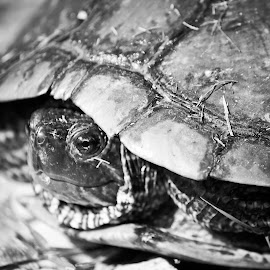 Turtle Turtle by Christine Tyson - Animals Amphibians (  )