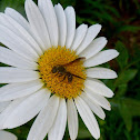 Wasp on a Daisy