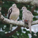 Inca Dove     pair