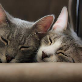 Naptime by Rosanne Volpert - Animals - Cats Kittens ( sleepy, kittens )