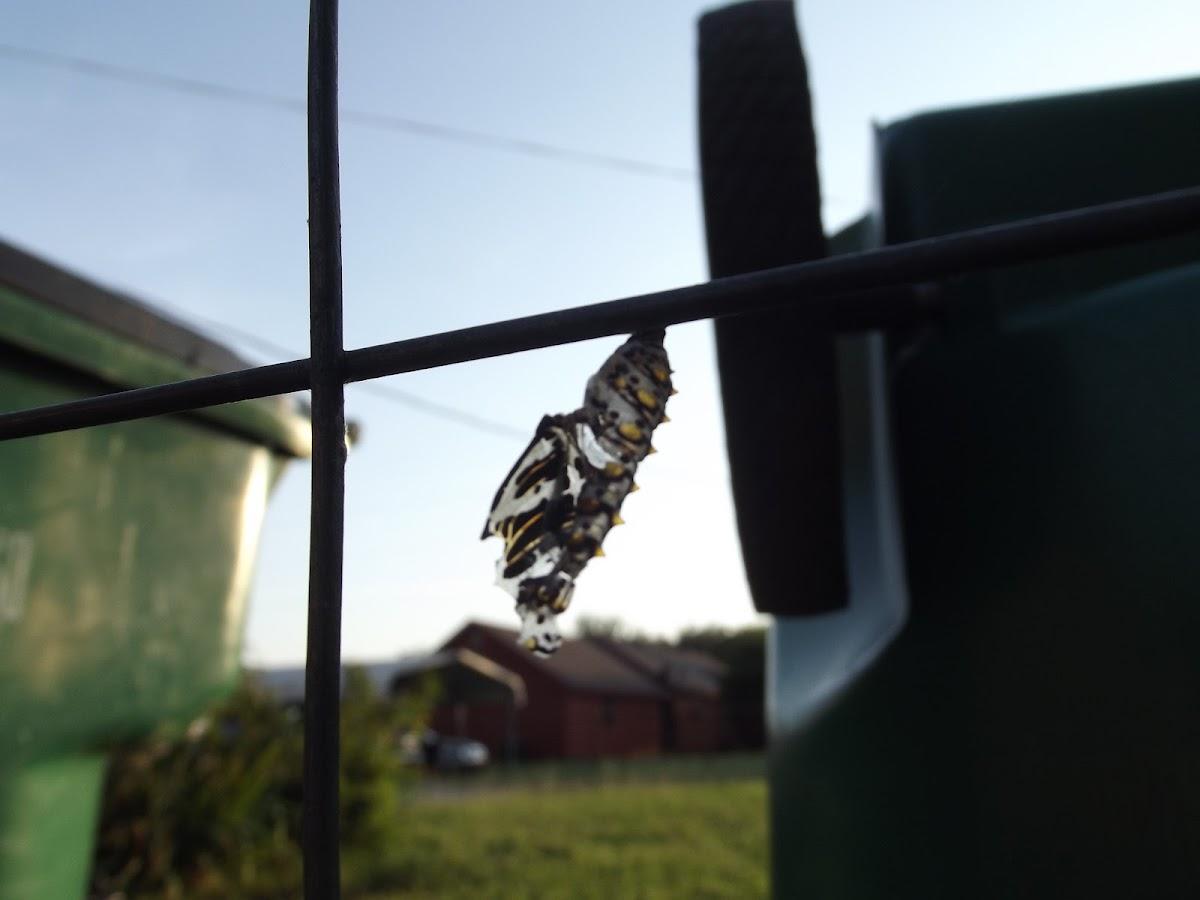 Variegated Fritillary (empty chrysalis)