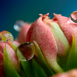 Rose drops by Rodica Coșarbă - Flowers Flower Buds ( #macro#flower#rose#drops#nature,  )