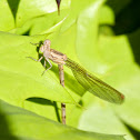 Aztec Dancer Damselfly