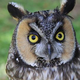 Long-eared Owl by Marsha Biller - Animals Birds (  )