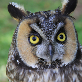 Long-eared Owl by Marsha Biller - Animals Birds (  )