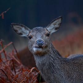 Deer chewing by Ian Pinn - Animals Other Mammals ( scotland, bracken, eating, deer )
