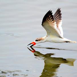 Hunting by Patricia Warren - Animals Birds ( water, bird, flight, nature, wings, wildlife, skimmer, pond,  )