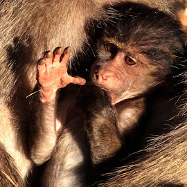 Baboon Family by Ronel Nel - Animals Other ( baboon famiy )