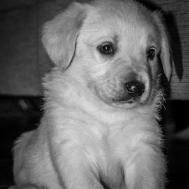 Baby Ico by Samuk Domingues - Animals - Dogs Puppies ( ico, puppy, baby, dog, friend, black and white, animal,  )