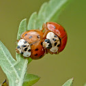 Asian multi-colored lady beetles (mating)