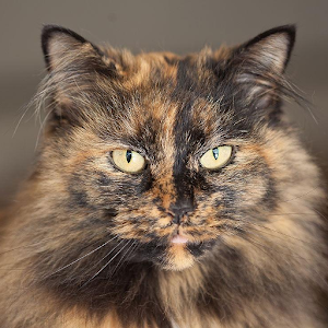 Tortoiseshell Cats Wallpapers Android Apps On Google Play