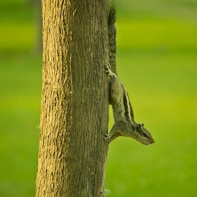 Squirrel  by Ashish Singla - Animals Other (  )