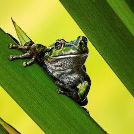Frog by Julia Harwood - Animals Amphibians ( frog, green, camoflage, yeelow, eyes )
