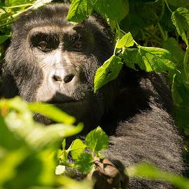 Eye contact by Andy Boyce - Animals Other Mammals ( uganda, gorilla, focus, contact, black, eyes )