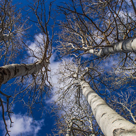 Aspens by Tracey Dolan - Nature Up Close Trees & Bushes