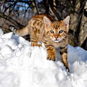 Winter Wonderland by Rob Ebersole - Animals - Cats Playing ( kitten, cat, winter, snow, kittens snow, maplewood bengals )