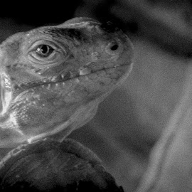 I see sadness in your eye, little lizard. by Jean Bogdan Dumitru - Animals Amphibians