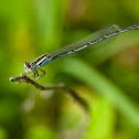 Familiar bluet (female)