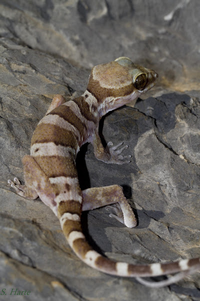 Ring Species Gecko