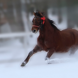 YEAR OF THE HORSE by Viorel Plesca - Animals Horses ( gee-gee, gallop, stallion, galloping, steed, speed, horse, blur, knight, viorel plesca, gee, studhorse, snow, movement, motion, move )