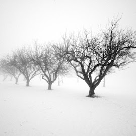Tree in a row by Stine Engelsrud - Nature Up Close Trees & Bushes ( shades, nature, fog, trees )