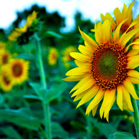 Sunflower by Akash Kumar - Novices Only Flowers & Plants ( green, sunflower, beauty, yellow, closeup )